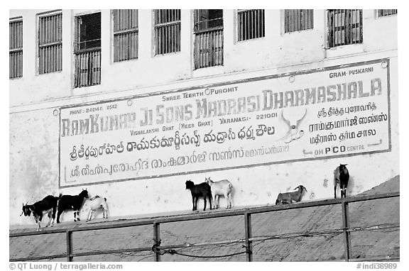 Sheep below a sign in English and Hindi. Varanasi, Uttar Pradesh, India (black and white)