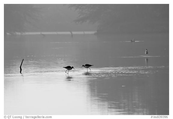 Wadding birds in pond, Keoladeo Ghana National Park. Bharatpur, Rajasthan, India (black and white)