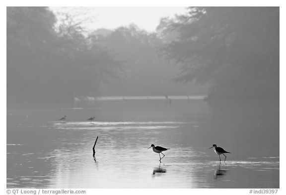 Pond with wadding birds, Keoladeo Ghana National Park. Bharatpur, Rajasthan, India (black and white)