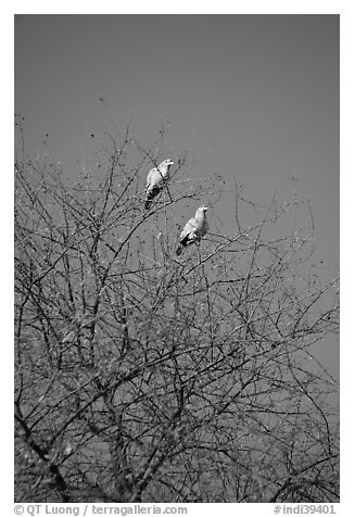 Yellow pigeons, Keoladeo Ghana National Park. Bharatpur, Rajasthan, India (black and white)