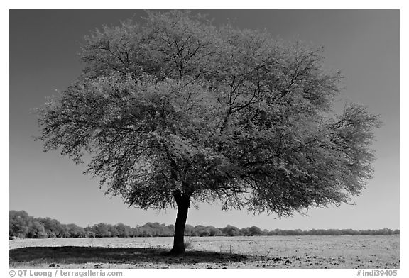 Isolated tree in open grassland, Keoladeo Ghana National Park. Bharatpur, Rajasthan, India (black and white)