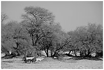 Animals and trees, Keoladeo Ghana National Park. Bharatpur, Rajasthan, India ( black and white)