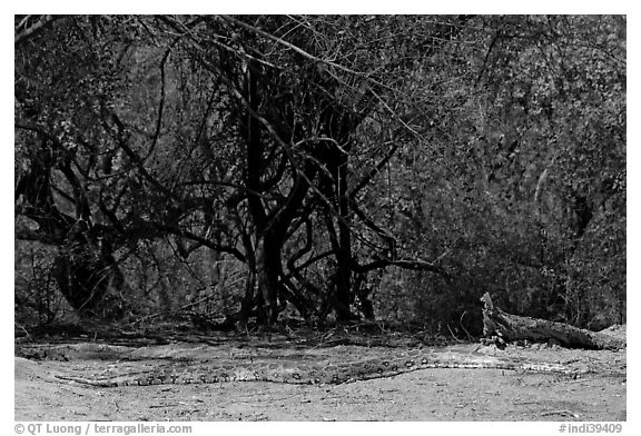 Python, Keoladeo Ghana National Park. Bharatpur, Rajasthan, India (black and white)