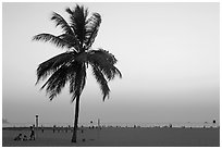 Coconut tree on Miramar Beach, sunset. Goa, India ( black and white)