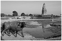 Javari Temple in rural setting with pond and caw, Eastern Group. Khajuraho, Madhya Pradesh, India (black and white)