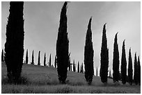 Cypress rows typical of the Tuscan landscape. Tuscany, Italy ( black and white)