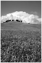 Poppies in field and cloud above distant ridge. Tuscany, Italy ( black and white)