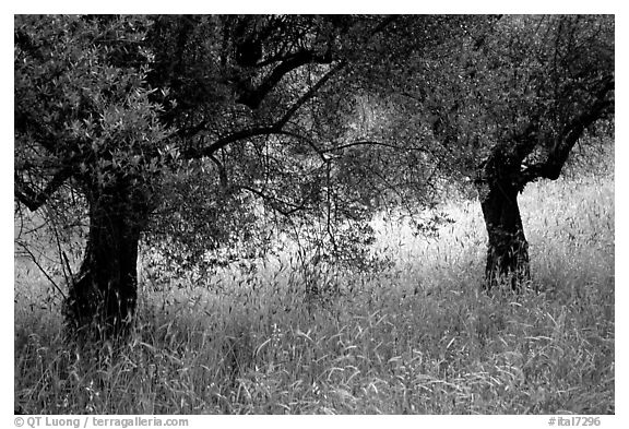 Olive trees and grasses, Villa Hadriana. Tivoli, Lazio, Italy (black and white)