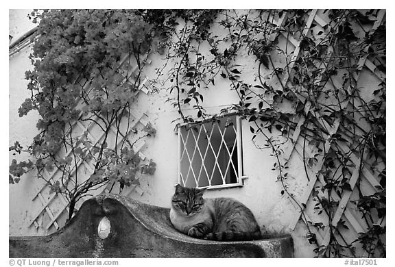 Cat and white walls with red flowers, Positano. Amalfi Coast, Campania, Italy (black and white)