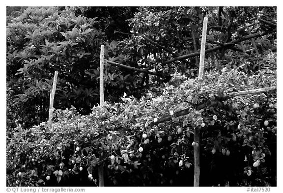 Lemon trees. Amalfi Coast, Campania, Italy (black and white)