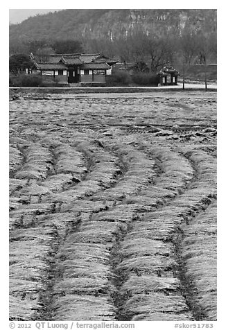 Fields with cut crops and historic house. Hahoe Folk Village, South Korea (black and white)