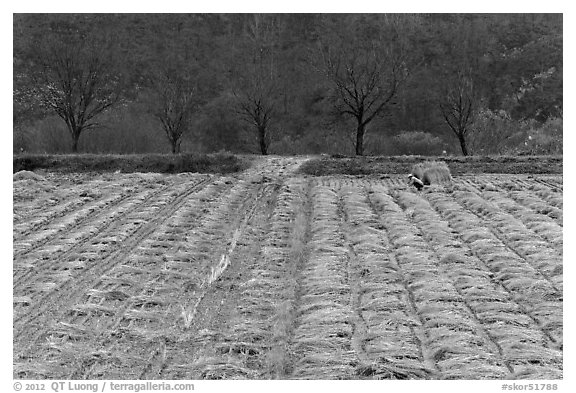 Field with cut crops and villager. Hahoe Folk Village, South Korea (black and white)