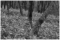 Oak trees and undergrowth, Hallasan. Jeju Island, South Korea (black and white)