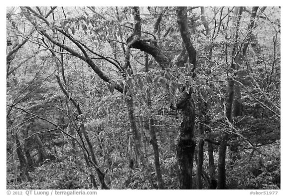 Oak forest with frost on branches, Hallasan. Jeju Island, South Korea (black and white)