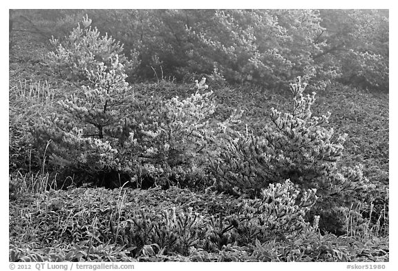 Frosted pine trees and fog, Mount Halla. Jeju Island, South Korea (black and white)
