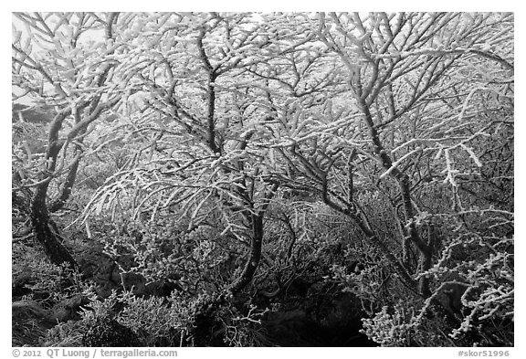 Frosted dwarf-fir, Hallasan National Park. Jeju Island, South Korea (black and white)