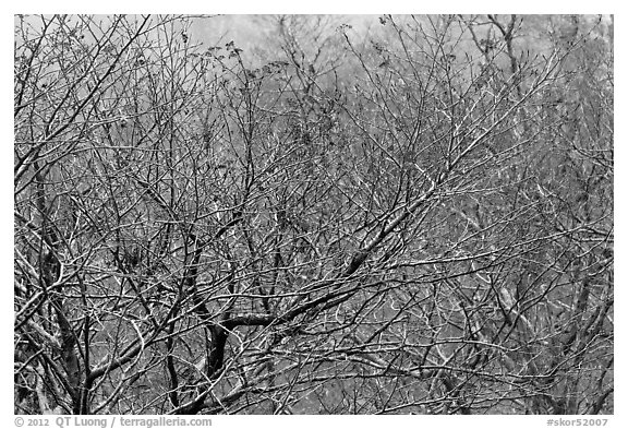 Bare trees with berries, Mount Halla. Jeju Island, South Korea (black and white)