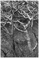Bare branches, Hallasan National Park. Jeju Island, South Korea ( black and white)