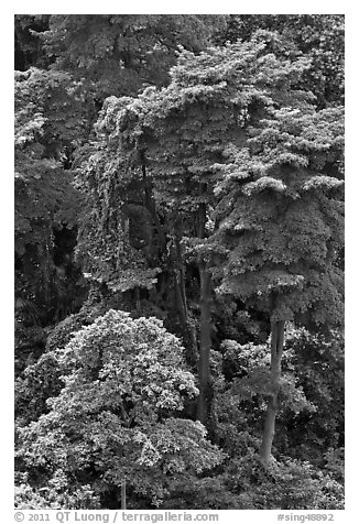 Forest trees. Singapore (black and white)