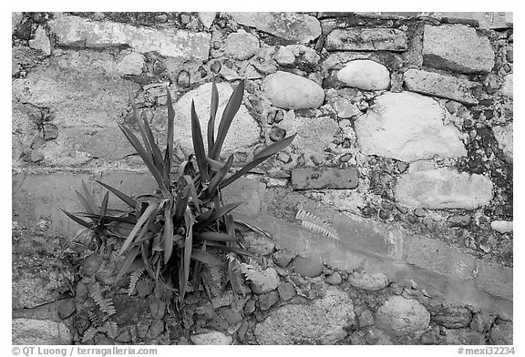 Succulent plant growing out of old wall, Puerto Vallarta, Jalisco. Jalisco, Mexico (black and white)