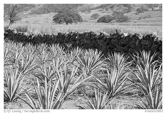 Agave field and volcanic rock wall. Mexico (black and white)