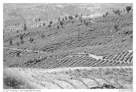 Agave field on rolling hills. Mexico (black and white)
