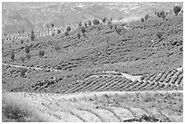 Agave field on rolling hills. Mexico ( black and white)