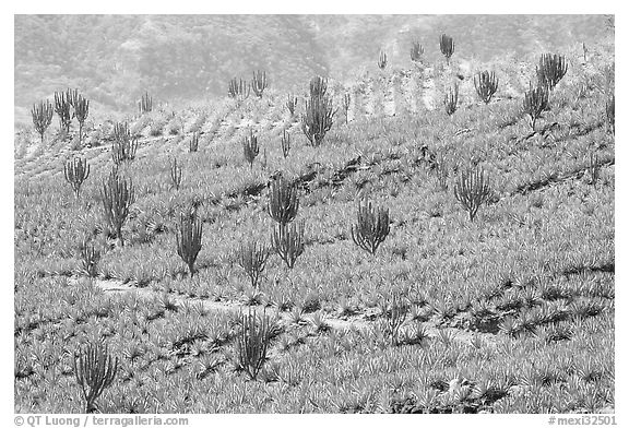 Cactus amongst agave field. Mexico (black and white)