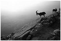Mountain ibex on the rim of Maktesh Ramon Crater, sunrise. Negev Desert, Israel (black and white)