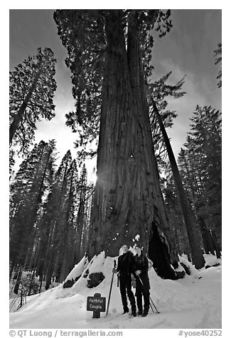 Skiers at the base of tree named Faithful couple tree in winter. Yosemite National Park, California