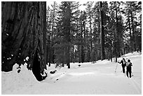 Skiing past a giant Sequoia Tree in winter, Mariposa Grove. Yosemite National Park, California (black and white)