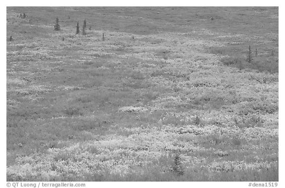 Tundra in fall colors near Savage River. Denali National Park (black and white)