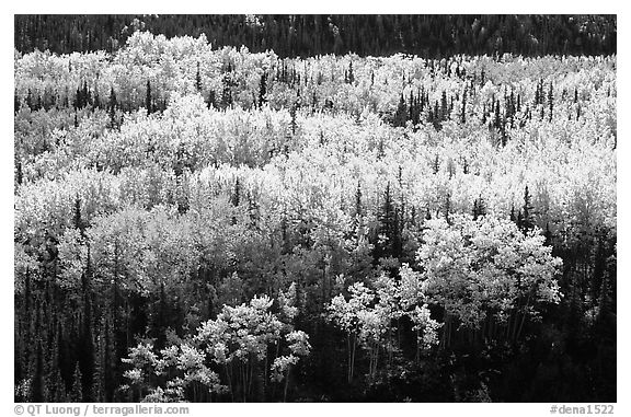 Aspen trees in bright autumn colors, Riley Creek drainage. Denali National Park (black and white)