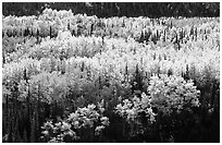 Aspen trees in bright autumn colors, Riley Creek drainage. Denali National Park, Alaska, USA. (black and white)