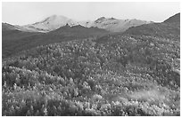 Hillside with aspens in fall colors. Denali National Park, Alaska, USA. (black and white)