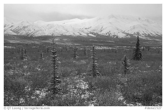 Spruce trees, tundra, and peaks with fresh snow. Denali National Park (black and white)
