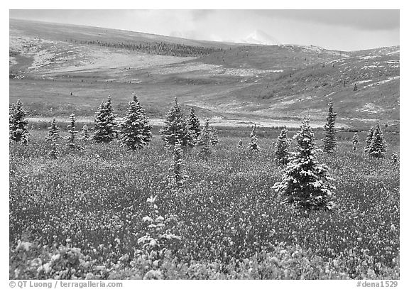 Dusting of snow on the tundra and spruce trees near Savage River. Denali National Park (black and white)