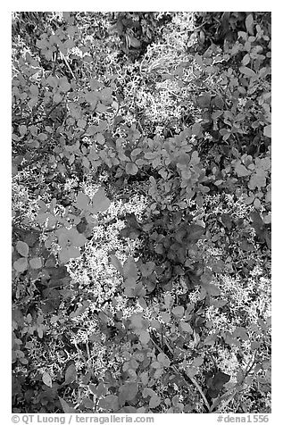 Dwarf tundra plants. Denali National Park (black and white)