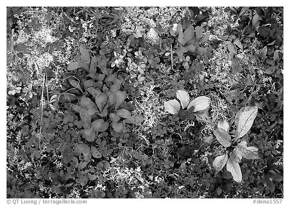 Dwarf tundra plants close-up. Denali National Park (black and white)