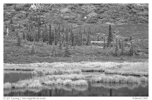 Pond, spruce trees and tundra near Wonder Lake. Denali National Park (black and white)