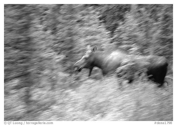 Cow Moose with motion blur. Denali National Park (black and white)