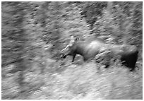 Cow Moose with motion blur. Denali National Park, Alaska, USA. (black and white)