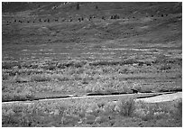 Grizzly bear on distant river bar in tundra. Denali National Park, Alaska, USA. (black and white)
