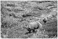 Grizzly bear and cub digging for food. Denali National Park, Alaska, USA. (black and white)