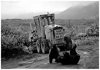 Two Grizzly bears playing. Denali National Park, Alaska, USA. (black and white)