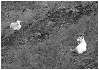 Two Dall sheep. Denali National Park, Alaska, USA. (black and white)
