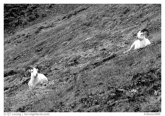 Two Dall sheep on hillside. Denali National Park (black and white)