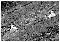Two Dall sheep on hillside. Denali National Park, Alaska, USA. (black and white)