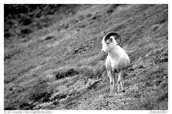 Dall sheep standing on hillside. Denali National Park (black and white)