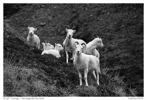 Group of Dall sheep. Denali National Park (black and white)